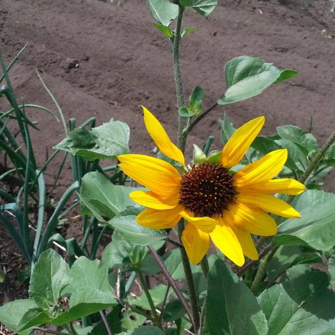 1st Sunflower